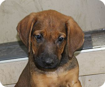 Labrador Retriever/Hound (Unknown Type) Mix Puppy for adoption in kennebunkport, Maine - Thor - PENDING, in Maine