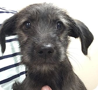 Dachshund/Terrier (Unknown Type, Medium) Mix Puppy for adoption in Fort Collins, Colorado - Albus