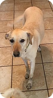 Labrador Retriever/Labrador Retriever Mix Dog for adoption in Olympia, Washington - Callie
