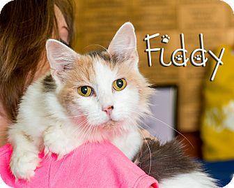 Domestic Mediumhair Cat for adoption in Somerset, Pennsylvania - Fiddy