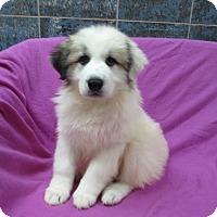 Adopt A Pet :: Dotty - Bartonsville, PA