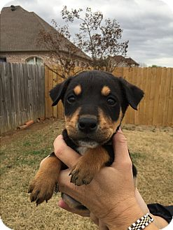 Rottweiler Mix Puppy for adoption in Glastonbury, Connecticut - Griffin~adopted!