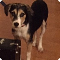 Adopt A Pet :: Ellie's Essex - Chantilly, VA