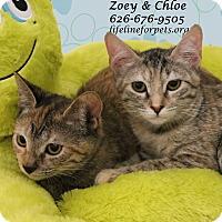 Adopt A Pet :: A Kitten Twin: CHLOE - Monrovia, CA