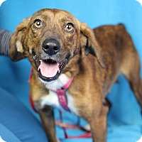 Adopt A Pet :: Callie - Minneapolis, MN