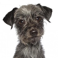 Adopt A Pet :: Rocko - oakland park, FL
