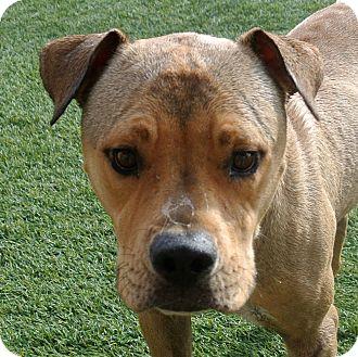 American Pit Bull Terrier Mix Dog for adoption in white settlment, Texas - Sander