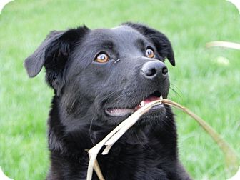 Border Collie Mix Puppy for adoption in Plainfield, Illinois - Robin