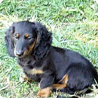 Adopt A Pet :: Major - San Jose, CA