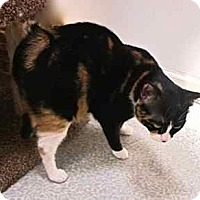 Manx Cat for adoption in Davis, California - Trixie