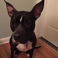 Adopt A Pet :: Stella - Rochester Hills, MI