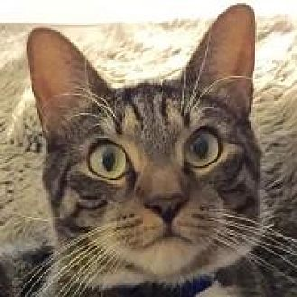 Domestic Shorthair Cat for adoption in Long Beach, New York - Slim