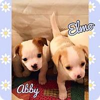 Adopt A Pet :: Elmo - McKinney, TX