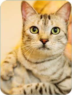 Domestic Mediumhair Cat for adoption in Garland, Texas - Georgia