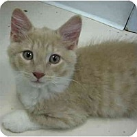 Adopt A Pet :: Summer Kittens 2 - Deerfield Beach, FL