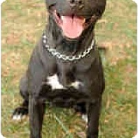 Adopt A Pet :: Lacey - Chicago, IL