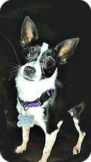 Chihuahua Mix Dog for adoption in West Allis, Wisconsin - Birdie