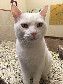 Abyssinian Cat for adoption in Alpharetta, Georgia - Tucker