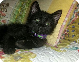 Domestic Shorthair Cat for adoption in Washington, North Carolina - SUSHI