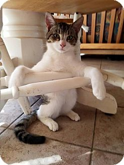 Domestic Shorthair Cat for adoption in Los Banos, California - Nacho