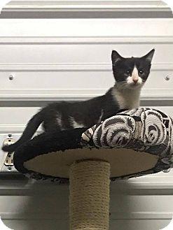 Domestic Shorthair Kitten for adoption in Covington, Virginia - Ariana