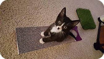 Domestic Shorthair Kitten for adoption in Tampa, Florida - C-3P0