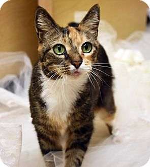 Domestic Shorthair Cat for adoption in Bristol, Connecticut - Booboo