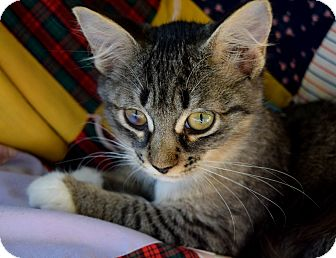 Domestic Shorthair Kitten for adoption in Mount Pleasant, South Carolina - Ciel