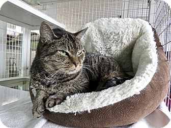 Domestic Shorthair Cat for adoption in Fayetteville, North Carolina - Betsy