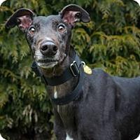 Adopt A Pet :: Breezy - Seattle, WA