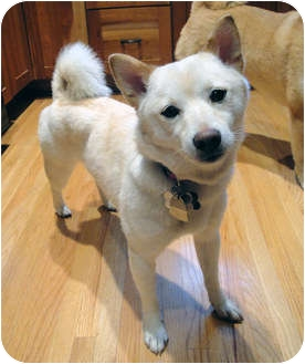 Shiba Inu Dog for adoption in Round Lake, Illinois - Roxy (Minnesota)