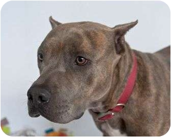American Pit Bull Terrier Mix Dog for adoption in Orlando, Florida - Kaiser