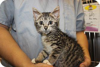Domestic Shorthair Kitten for adoption in New York, New York - Bita