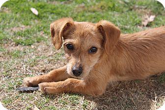Chihuahua/Dachshund Mix Puppy for adoption in Hamburg, Pennsylvania - Tootles