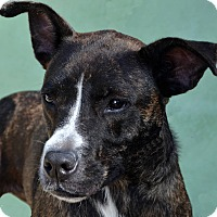 Labrador Retriever/Staffordshire Bull Terrier Mix Dog for adoption in Terre Haute, Indiana - Stardust