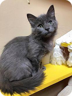 Domestic Mediumhair Kitten for adoption in Maryville, Missouri - Lane