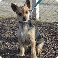 Yorkie, Yorkshire Terrier Dog for adoption in Las Vegas, Nevada - Raksha