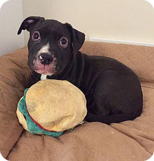 Boxer/Labrador Retriever Mix Puppy for adoption in Avon, Ohio - Korver