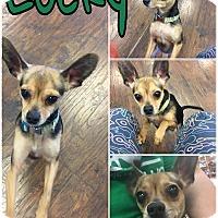 Adopt A Pet :: Lucky - Colmar, PA