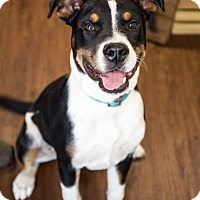 Boxer Mix Puppy for adoption in Fayetteville, Arkansas - Milo