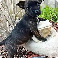 Adopt A Pet :: Clover - O'Fallon, MO