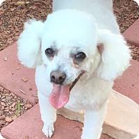 Adopt A Pet :: Precious Bella, Mini Poodle - Corona, CA