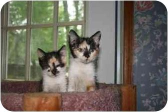 Calico Kitten for adoption in Cincinnati, Ohio - Calicos: 7 weeks.