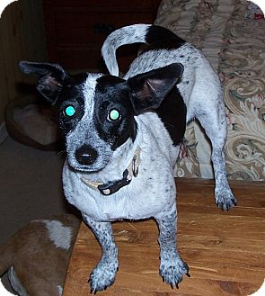 Terrier (Unknown Type, Small) Mix Dog for adoption in Conway, Arkansas - Maggie