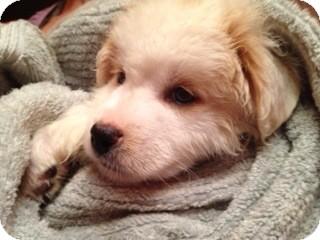 Golden Retriever Mix Puppy for adoption in White River Junction, Vermont - Nevilla Pup
