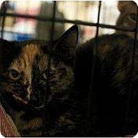 Domestic Shorthair Cat for adoption in New York, New York - Nina