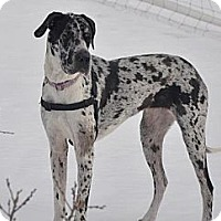 Adopt A Pet :: Silver - Broomfield, CO