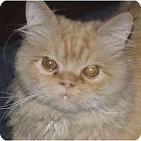 Adopt A Pet :: Goldie - Beverly Hills, CA