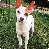 Rat Terrier Mix Dog for adoption in Fredericksburg, Texas - Champ