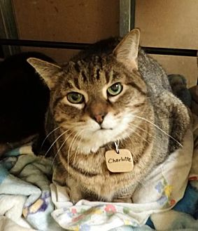 Domestic Shorthair Cat for adoption in Montreal, Quebec - Mlle Charlotte